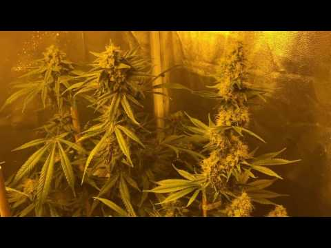Grow Update - 3rd Cycle, Day 38 Veg, Day 50 Flower - Bio Diesel Rosin Dab