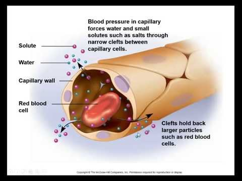 Anatomy & Physiology - Vessels & Circulation