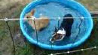 6/3/08 Pembroke Welsh Corgis Puppies In The Pool