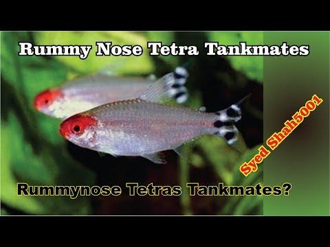 Rummy Nose Tetras Tankmates | Peaceful Tankmates Of Rummy Nose Tetras