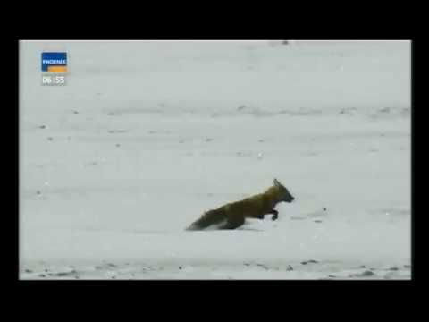 Hunting A Fox And A Wolf With A Golden Eagle (Kazakhstan)  (lang=german)