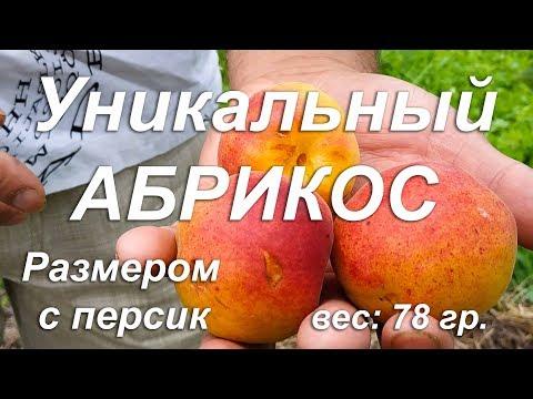 Уникальный АБРИКОС размером с персик