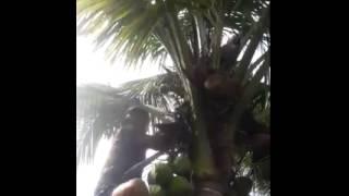 Video Video lucu naik pohon kelapa download MP3, 3GP, MP4, WEBM, AVI, FLV Desember 2017