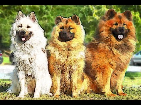 EURASIER HISTORY or EURASIAN dog Brief History of breed of dog lovers dogs facts origins background
