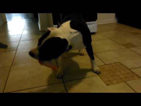 Cash the pitbull raw feeding