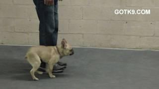 French Bulldog Dogtraining, Las Vegas Dog Training, Got K9