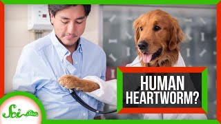 Why Don't Humans Get Heartworm? (Spoiler: We Do)