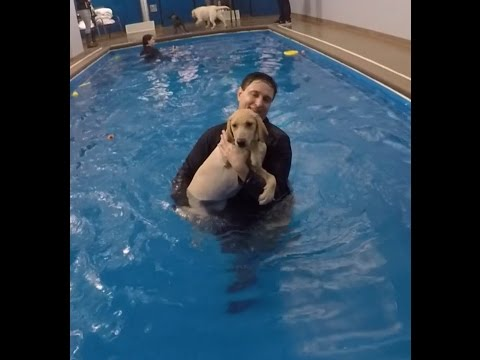 Labrador puppy first swimming lesson - SO CUTE