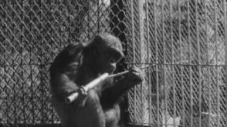 Experiments with chimpanzees, works of N. Ladygina-Kohts