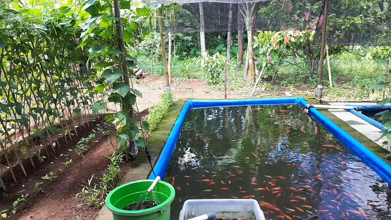 Budidaya Ikan Koki Di Kolam Terpal - InfoAkuakultur.com