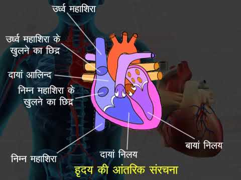 Human Heart Structure and Function Hindi - YouTube