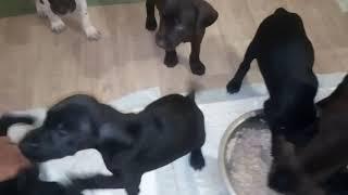 Предлагаются щенки курцхаара