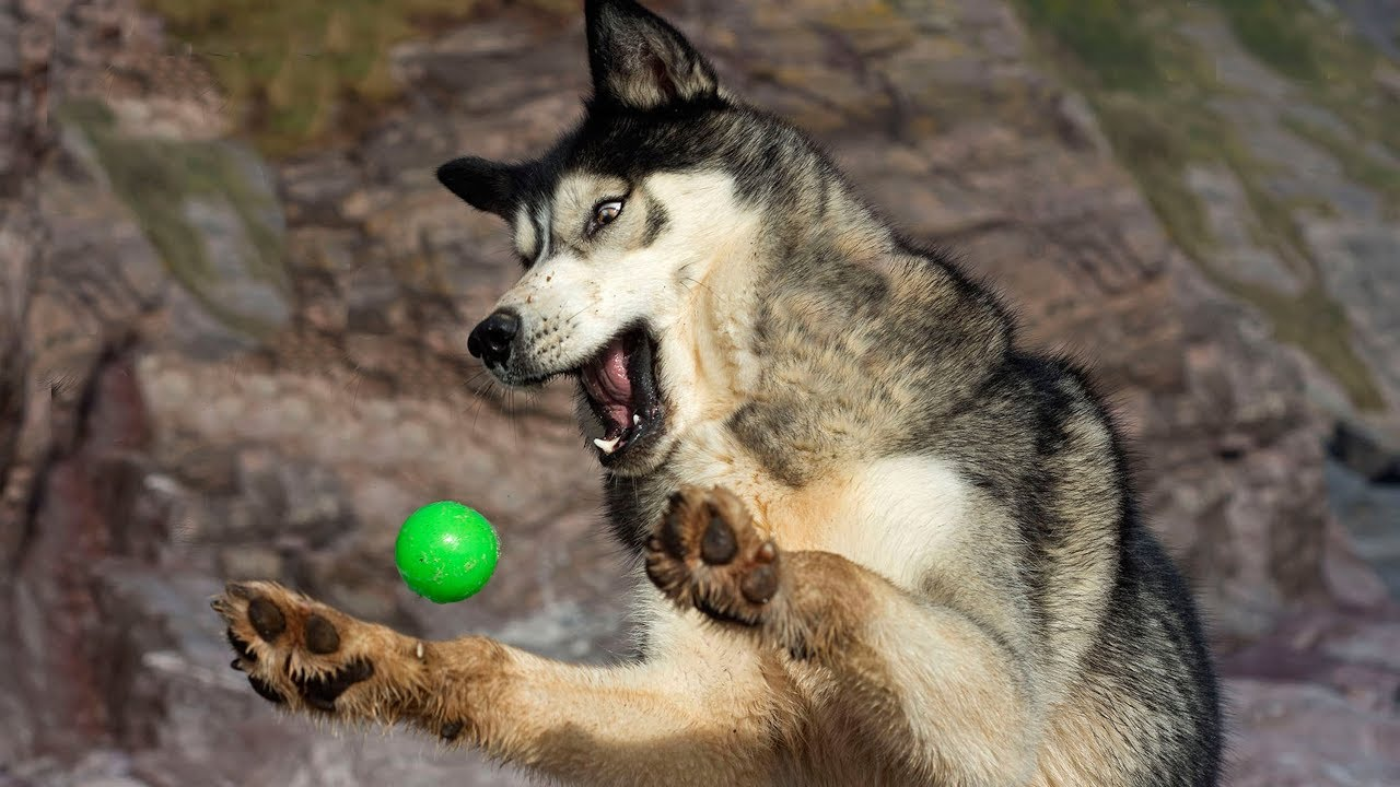 Husky Can't Catch | Funny Photos