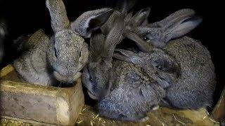 Кролики - разведение, содержание, уход. Подводные камни при становлении маточного поголовья.