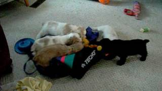 Six Pack Of Cocker Spaniel Puppies With Toy Duck.