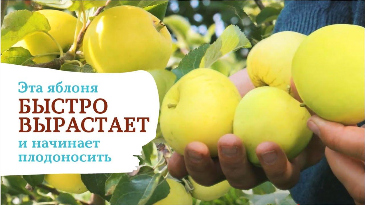 Яблоня «Дачная». Посадите этот сорт и наслаждайтесь вкусными яблоками очень быстро