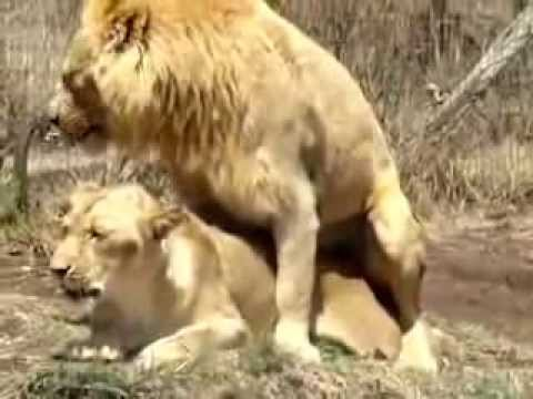 mating hard rough lions