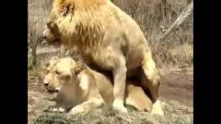 Lions Mating hard and rough