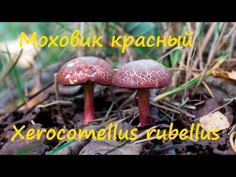 Моховик красный - тоже съедобный