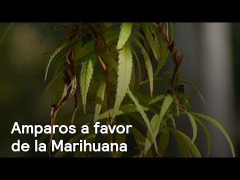 Amparos por la legalización y el uso lúdico de la marihuana - Las Noticias