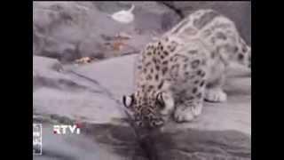 В нью-йоркском Центральном парке в вольер впервые выпустили двух котят снежного барса