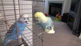 Mango the talking budgie meets Blueberry for the first time