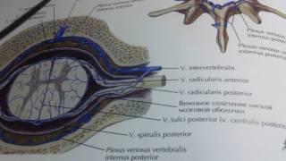 3 15 Артерии и вены спинного мозга