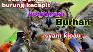 Download Lagu suara pikat burung kejepit mp3