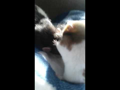 Rat And Hamster Meet For The First Time