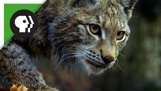 Forest Lynx Stalks Prey