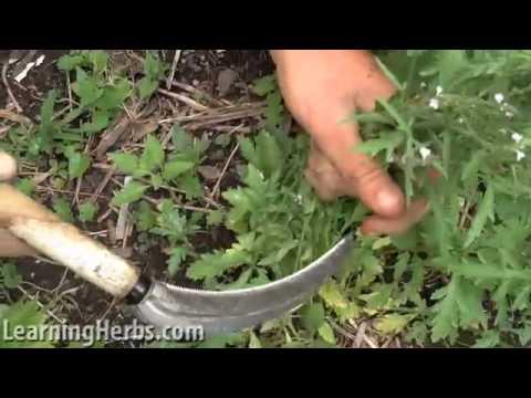 Vervain herb, Verbena officinalis, How to Harvest
