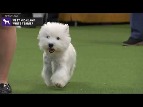 West Highland White Terriers | Breed Judging 2020