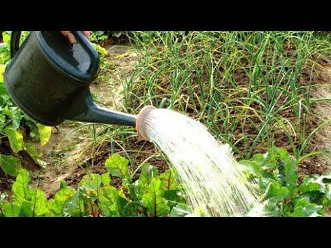 Полив свеклы солёной водой, свекла на грядке, орошение, подкормка свеклы, обеззараживание почвы