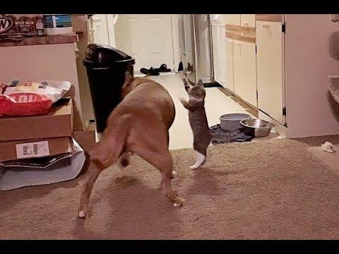 Kitten VS Dog | Pitbull Playing With Kitten