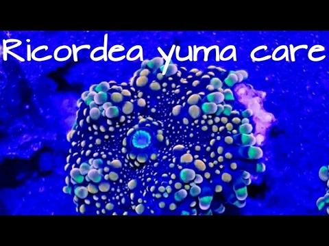 Ricordea yuma mushroom corals How to care for Ricordea yuma mushrooms