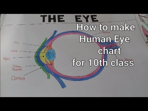 Structure Of Human Eye 10th Class Science Eye Chart Model How To