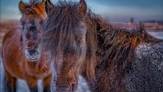 Якутские лошади -  уникальные животные,  которые могут выжить  при температуре -60 С  градусов