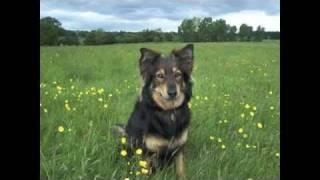 Border Collie X German Shepherd Mix Dogs - Slideshow