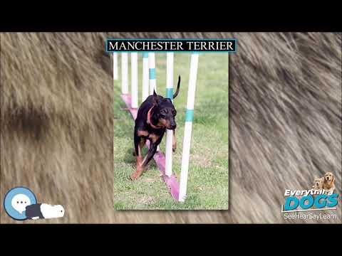 Manchester Terrier  Everything Dog Breeds