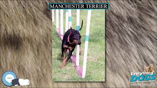 Manchester Terrier  Everything Dog Breeds