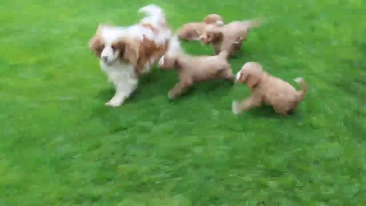 Prächtig Cavalier King Charles Spaniel Mix Puppies For Sale - YouTube @EY_03