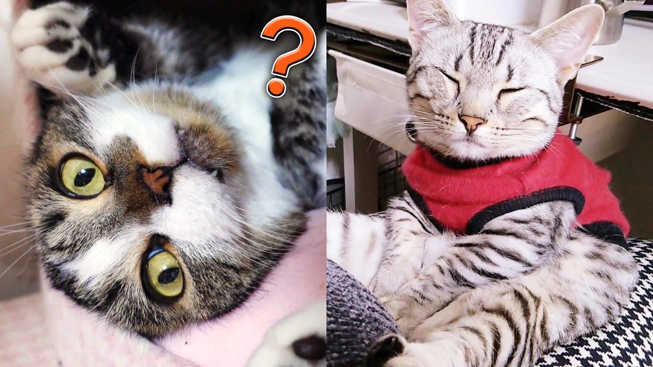 面白い短足猫  The funny cats!