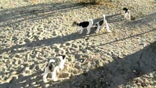 Wire Fox Terrier Akc Puppies