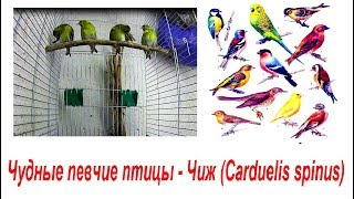 Чудные певчие птицы - Чиж (Carduelis spinus)