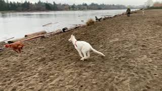 Lily the Borzoi chasing other dog