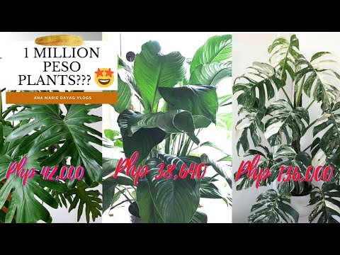 MOST EXPENSIVE PLANT IV'E EVER SEEN || PLANT WORTH PHP138,000 😱