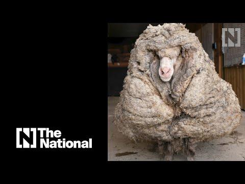 Wild sheep freed from 35kg fleece