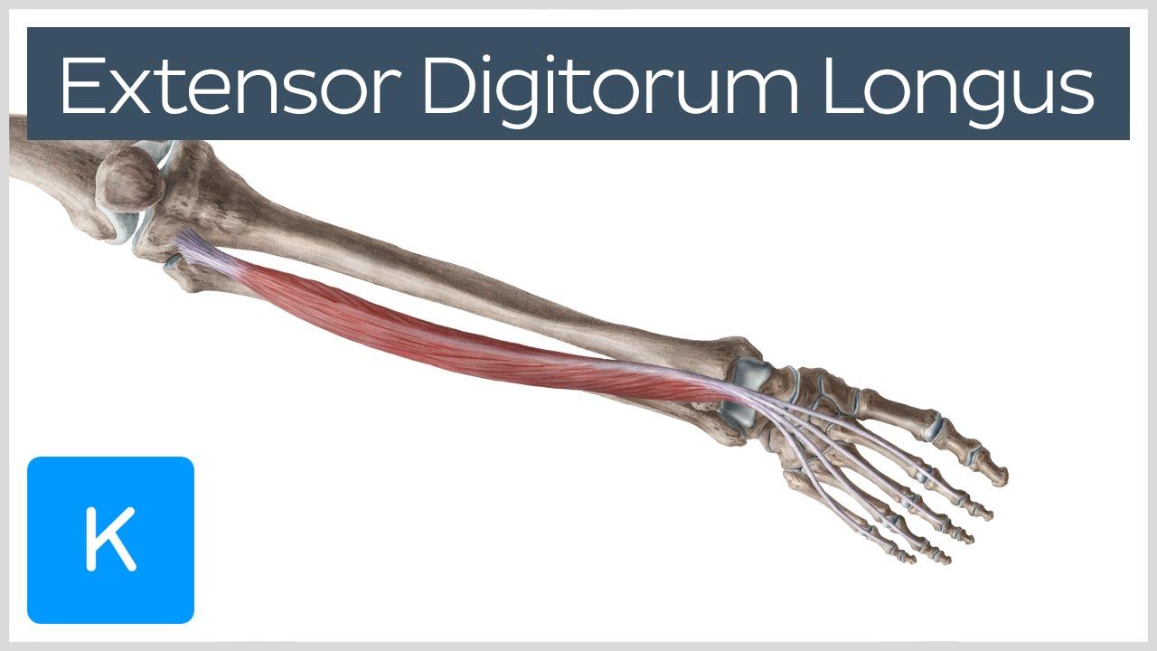 extensor digitorum longus muscle origins amp function