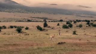 Африка. Кения. Один из дней жизни саванны.