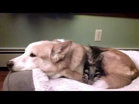 Maine Coon kitten thinks Husky dog is her brother